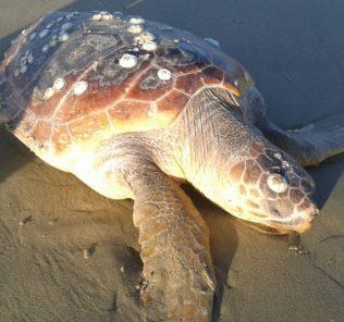 Tartaruga Caretta Caretta spiaggiata