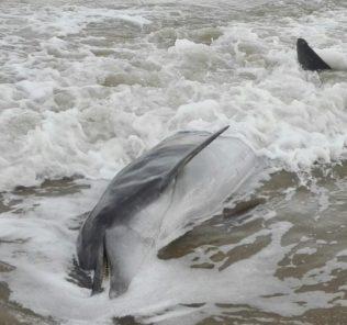delfino spiaggiato
