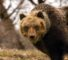 orso-bruno-marsicano