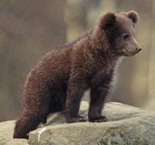 orso-cucciolo