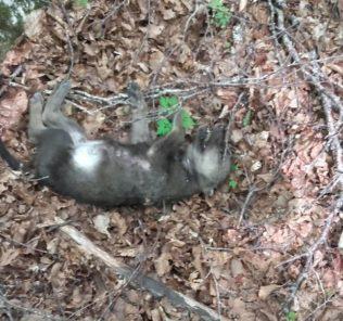 cucciolo-di-lupo