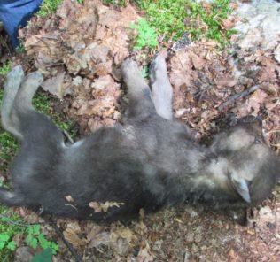 cucciolo lupo morto